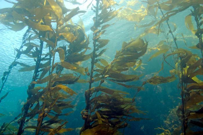 湧鵬生技-AOS褐藻寡糖(60粒)產品資訊