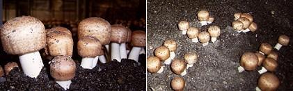 華研生技-巴西蘑菇膠囊(子實體+菌絲體)120粒產品資訊